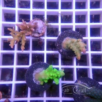 Acropora formorsa indonésie acro3500