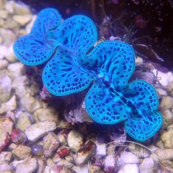 Tridacna maxima bleu 4/5cm tridac205