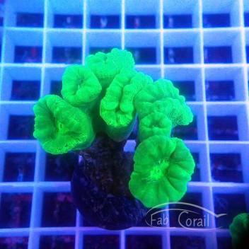 Caulastrea vert fluo caula220