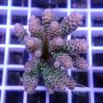Acropora tenuis special filtre indonésie acro3530
