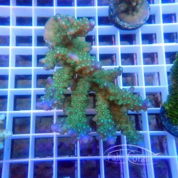 Acropora secale australie acro3561