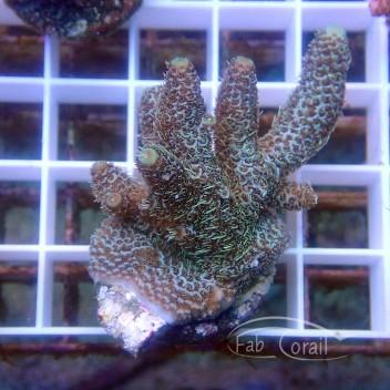 Acropora millepora Indonésie acro3587