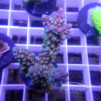 Acropora globiceps Indonésie acro3605