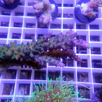 Acropora tortuosa indonésie acro3608