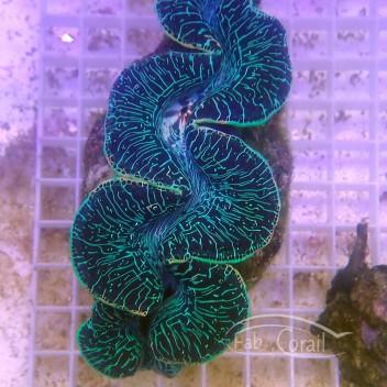 Tridacna maxima bleu 4/5cm tridac216