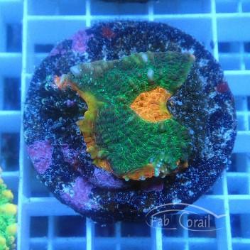 Echinophyllia echino178