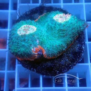 Echinophyllia echino180