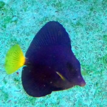 Zebrasoma xanthurum 4/5cm