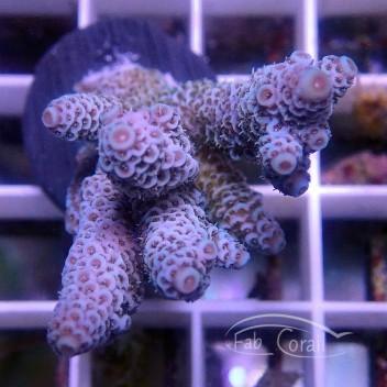 Acropora millepora bleu indonésie acro3636