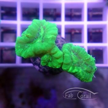 Caulastrea vert fluo caula229