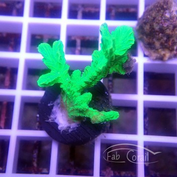 Hydnophora vert hydno45