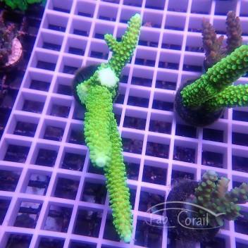 Acropora formosa Indonesie acro3681