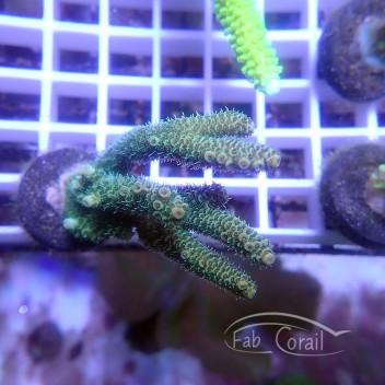 Acropora millepora Indonesie acro3682