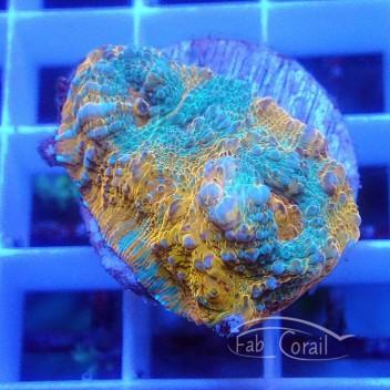 Echinophyllia ultra echino182