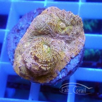 Echinophyllia ultra echino183