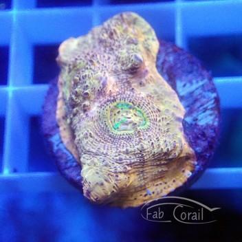 Echinophyllia ultra echino185