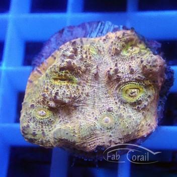Echinophyllia ultra echino187