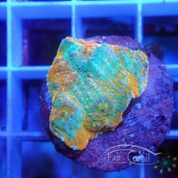 Echinophyllia ultra echino188