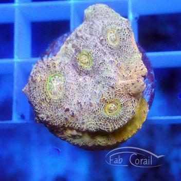 Echinophyllia ultra echino189