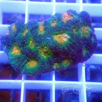 Acanthastrea echinata echinata52