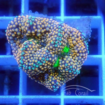 Ricordea floridae RF299