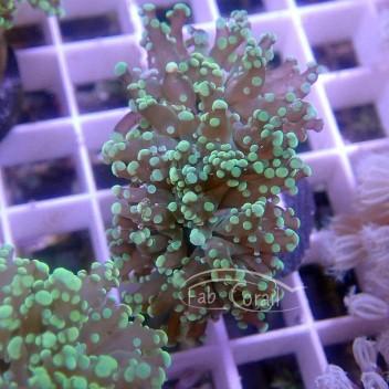 Euphyllia yaeyamaensis euphy1342