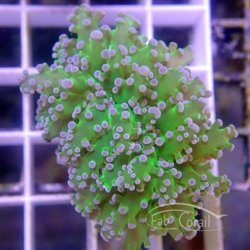 Euphyllia paracnora duo vert orange euphy1364