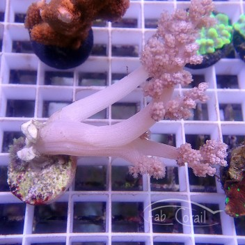 Lithophyton arboreum elevage allemande