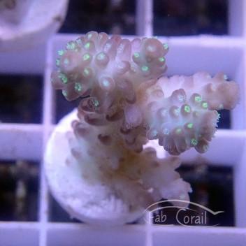 Acropora sp Australie acro3734