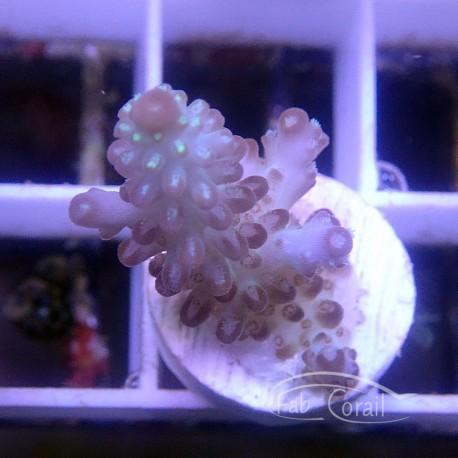 Acropora sp Australie acro3735