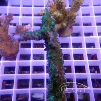 Acropora formosa vert Indonesie acro3744