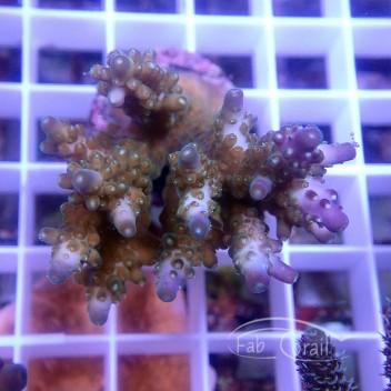 Acropora sp Indonésie acro3752
