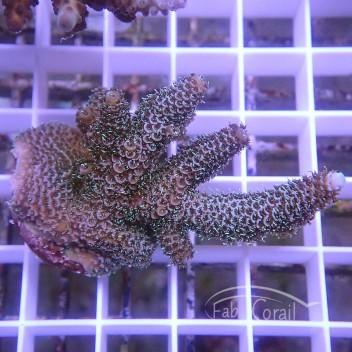 Acropora sp Indonésie acro3753