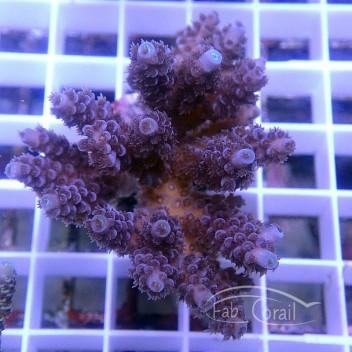 Acropora sp Indonésie acro3758