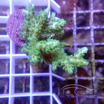 Acropora microclados Indonésie acro3763