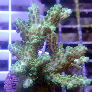 Acropora sp Indonésie acro3764