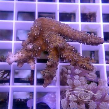 Acropora sp Australie acro3765