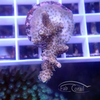 Acropora Tenuis Indonésie acro3774