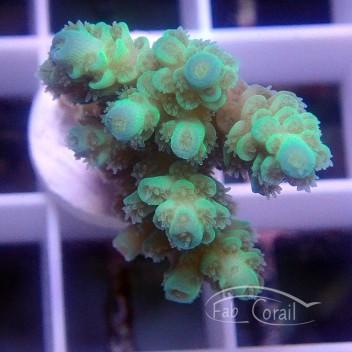 Acropora tenuis Indonésie acro3815