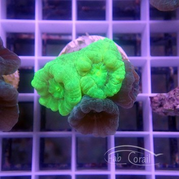Caulastrea duo bleu et vert caula241