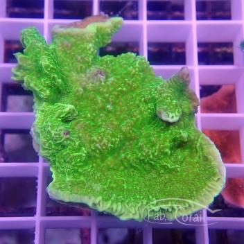 Montipora foliosa vert monti1021