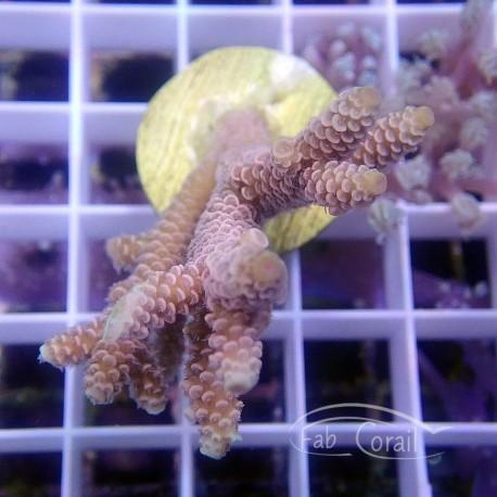 Acropora tenuis Indonesie acro3818