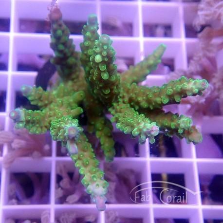 Acropora Secale Indonésie acro3776