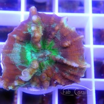 Pectinia sp Australie pecti15 small