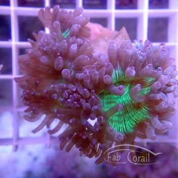 Catalaphyllia jardinei coupé jardinei209