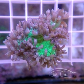 Catalaphyllia jardinei coupé jardinei211