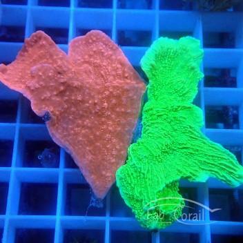 Montipora foliosa duo rouge et vert monti1021