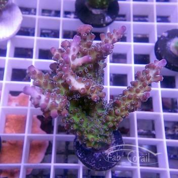 Acropora sp Indonésie acro3824