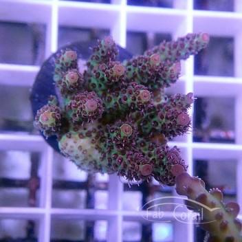 Acropora sp Indonésie acro3825