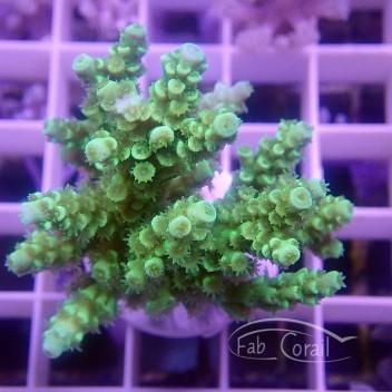 Acropora tenuis Indonésie acro3827
